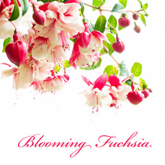 Bunch of  blooming fuchsia isolated on a white background