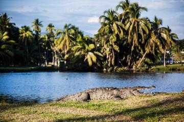 Poster Crocodile Krokodil liegt vor einer Lagune in der Wiese