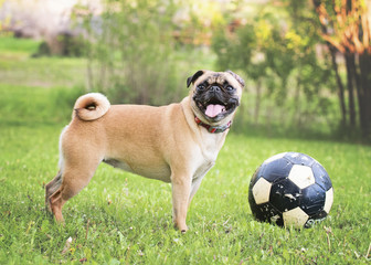 Pug sticking out tongue while standing by ball at park