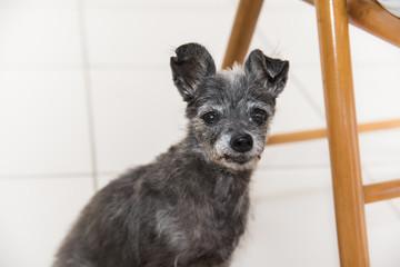 Cachorro pequeno e velho olhando para a frente
