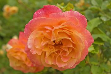 Pink-orange rose in rose garden after rain. Closeup of beautiful bicolour rose.