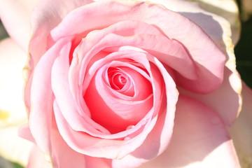 ピンクのバラアップ