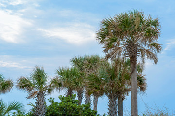 Palm Trees with a blue sky background.