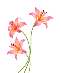 Three pink lily flowers. Isolated on white background