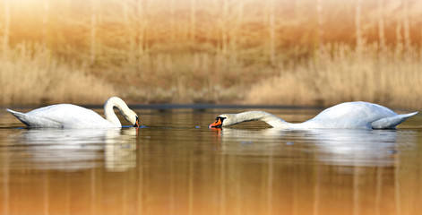 Two swans on the pond in forest.