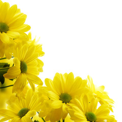 Yellow Chrysanthemum flowers isolated on a white background.