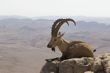 a mountain goat with curved big horns and a beard lies on a rock near the cliff in the Judean mountains against the background of the desert
