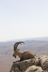 a mountain goat with curved big horns and a beard lies on a rock near a cliff in the Judean mountains against the background of the sky and the desert