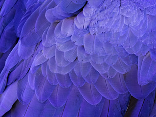 Macro on a Hyacinth Macaw Feathers