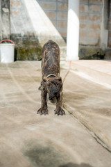 Dog American Pit Bull Terrier, dog barks, fierce, best friend