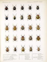 Illustration of beetles