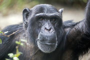 Foto op Canvas Aap Male Chimpanzee Portrait