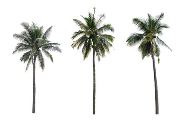 coconut tree isolated isolated on white background