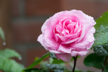 One beautiful pink rose plant blossoming in the garden, close up copy space
