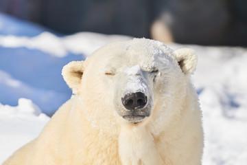 雪まみれのシロクマ