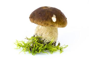 boletus edulis mushroom on moos