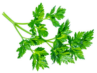 Parsley herb. Macro shot of small branch.