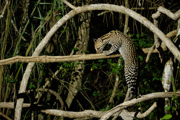 Very rare ocelot in the night of brazilian jungle, endangered and nocturnal species, leopardus pardalis in latin, wild animal in the nature habitat. Beautiful large ocelot male on a tree. Wild Brazil.