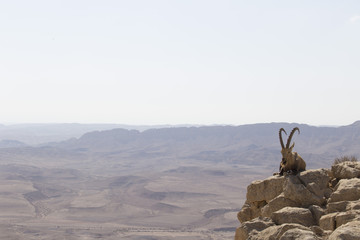 mountain goat with a beard and big horns resting among the stones high in the mountains against the background of the Judean desert