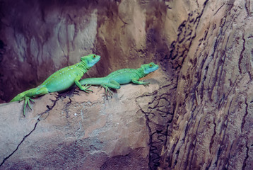 Two green lizard or iguanas