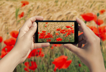 Female hand with mobile phone take picture of poppies in the field. A lot of poppies flowers in smart phone