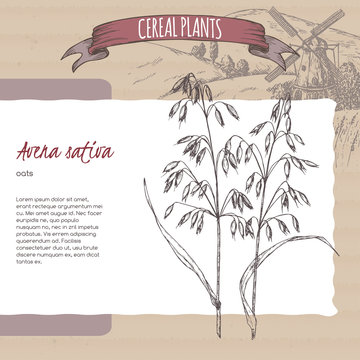 Common oats aka Avena sativa sketch. Cereal plants collection.