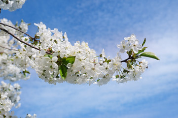 Spring flowers. Beautifully blossoming tree branch. Welcome spring.