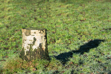Single birch tree stump in a lawn or grass field