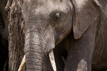 Elefantenportrait - Serengeti