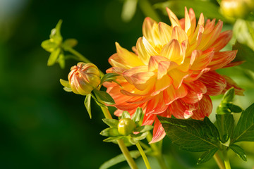 Dahlia red and yellow flower. Field of beautiful blooming red dahlia flowers. Dahlias growing in the garden.