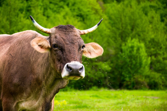 Portrait of a cow with flies on the face. animal in spring green environment