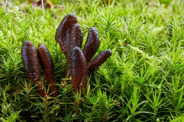 Fungus Elaphocordyceps ophioglossoides