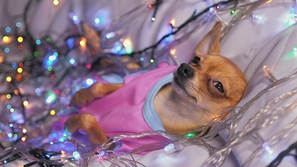 The Toy Terrier is a yellow New Year's dog.