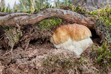 Boletus edulis. Fungus in the natural environment.