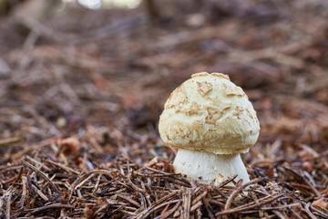 Amanita citrina.Fungus in the natural environment.