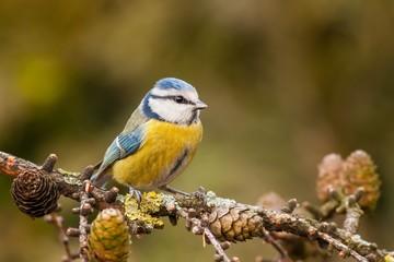 Modraszka, Cyanistes caeruleus, jesienią. Mały kolorowy ogrodowy ptasi obsiadanie na Europejskim modrzewu, Larix decidua, gałąź z rożkami. Yelllow i pomarańczowe jesienne kolory, niewyraźne tło.