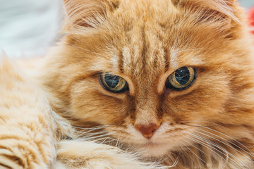 Funny cute Ginger or Rad Cat portrait