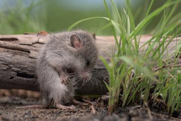 Rato-bochechudo (Saccostomus campestris) da África Austral