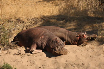 Two common hippopotamus (Hippopotamus amphibius), or hippo lying on the sand shore