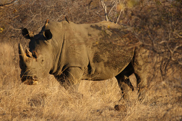 The white rhinoceros or square-lipped rhinoceros (Ceratotherium simum) is staying in bush and grass with raised head