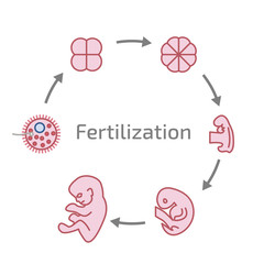 Stages of the development of fertilization.