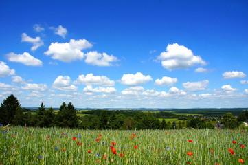 Schäfchenwolken und Kornfeld mit Blumen in der Nähe von Krinkhof in der Eifel