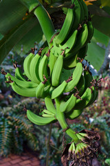 Bunch of green bananas hanging from a tree
