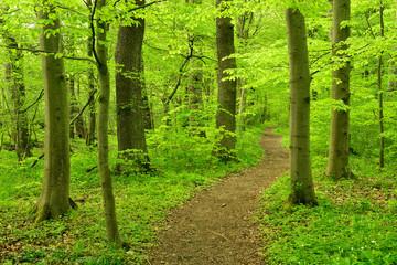 Wanderweg schlängelt sich durch Buchenwald im zeitigen Frühjahr, frisches Grün