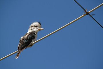 Kookaburra sitting on overhead wires against blue sky