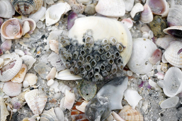 Seashells with barnacles lay on a sandy beach after a storm on the Gulf of Mexico at St. Pete Beach, Florida