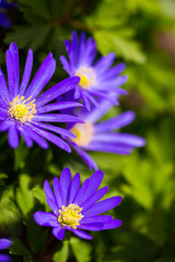 Violet spring flowers at sunny day in garden