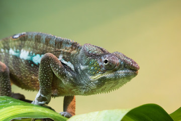 close up of beautiful colorful chameleon looking at camera
