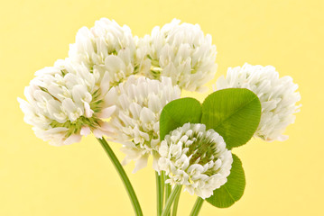 Spring clover against a yellow background.