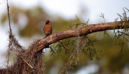 Female brown and red Northern cardinal bird Cardinalis cardinalis